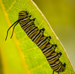Monarch Caterpillar on milkweed leaf 1/2
