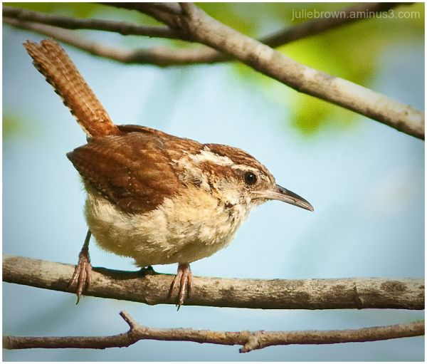carolina wren on branch