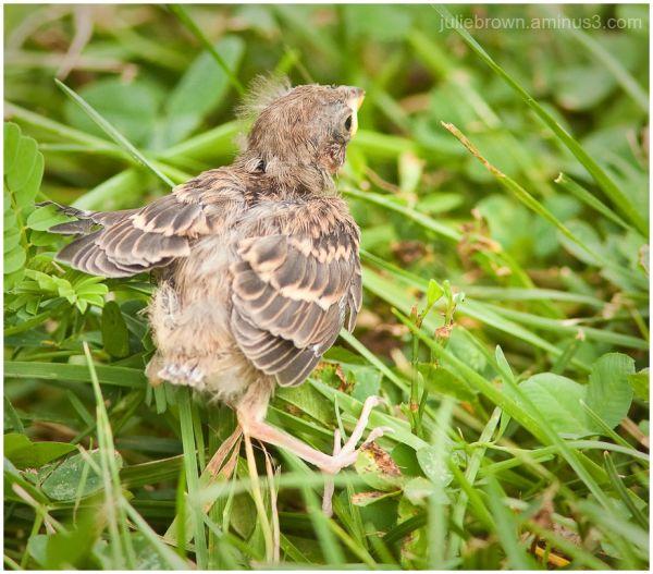 field sparrow chick running