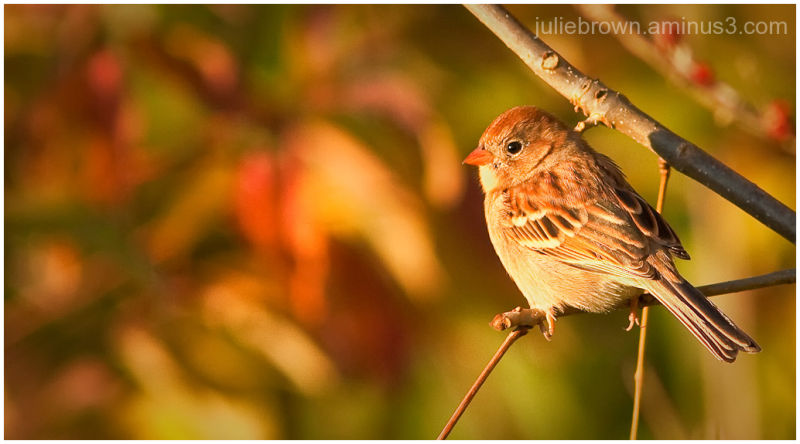 field sparrow evening light 3