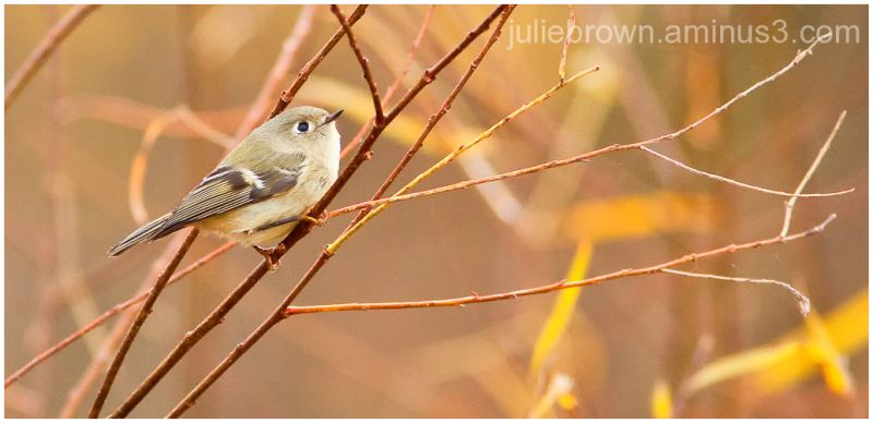 ruby crowned kinglet looking up fort harrison
