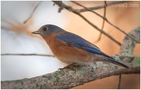 male bluebird destin florida