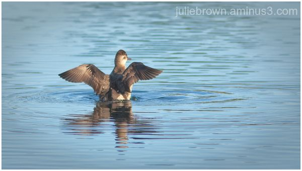 ruddy duck spreading wings destin florida