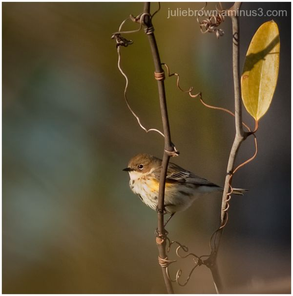 yellow-rumped warbler winter plumage florida