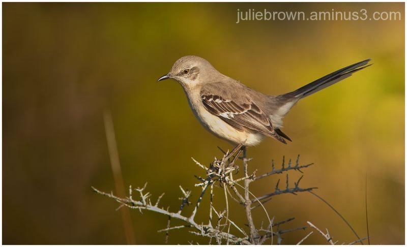 northern mockingbird grayton beach state park FL