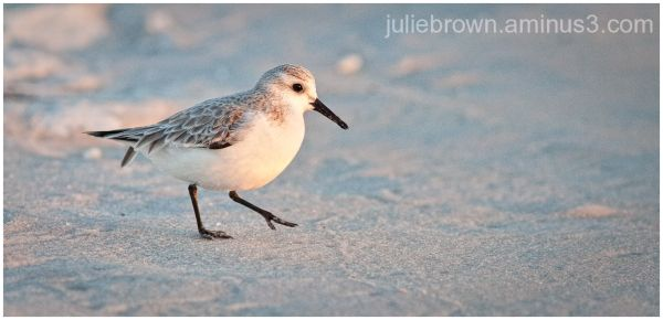 sanderling on beach in evening light