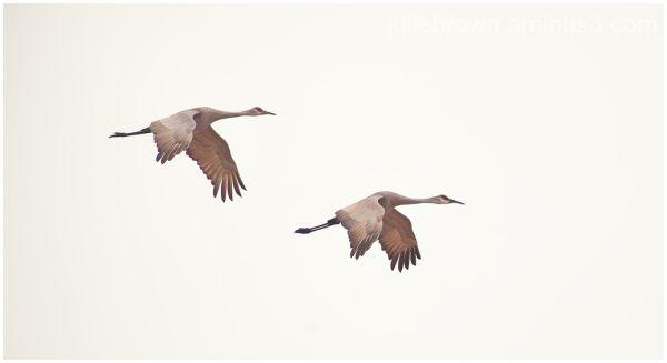 sandhill cranes at goose pond FWA