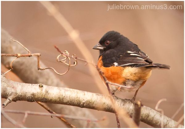 eastern towhee late afternoon