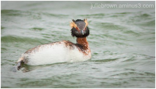 horned grebe with ear plumes standing up