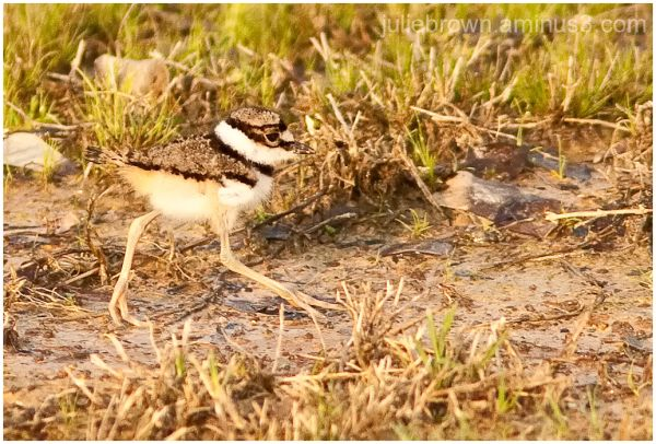 killdeer chick in the grass in Alabama