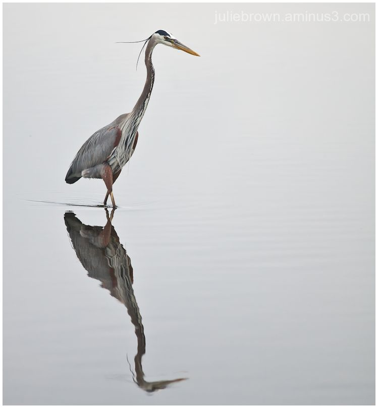 great blue heron fishing in grand lagoon