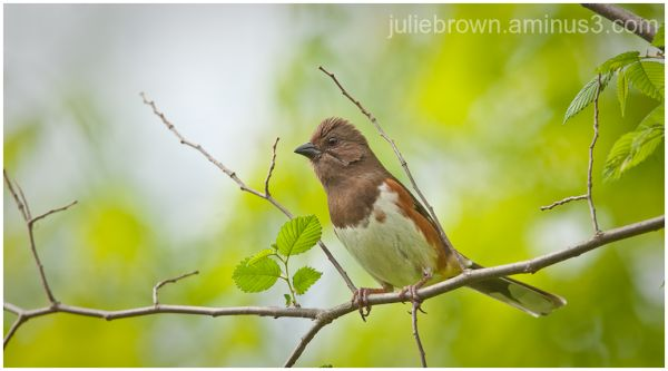 female eastern towhee in spring foliage RWNP