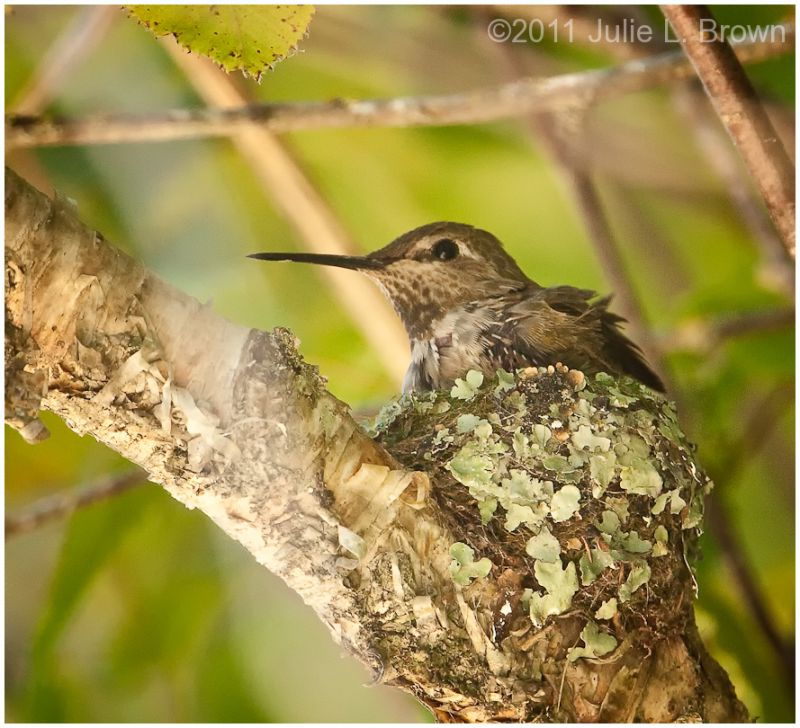 anna's hummingbird female on nest california
