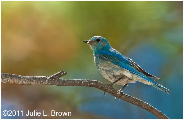 mountain bluebird perched with prey