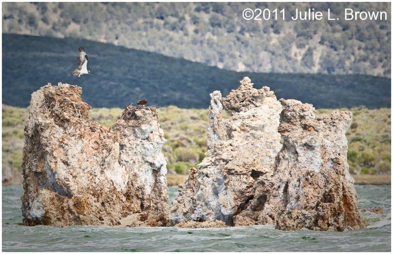 osprey in flight over nest on tufa at mono lake