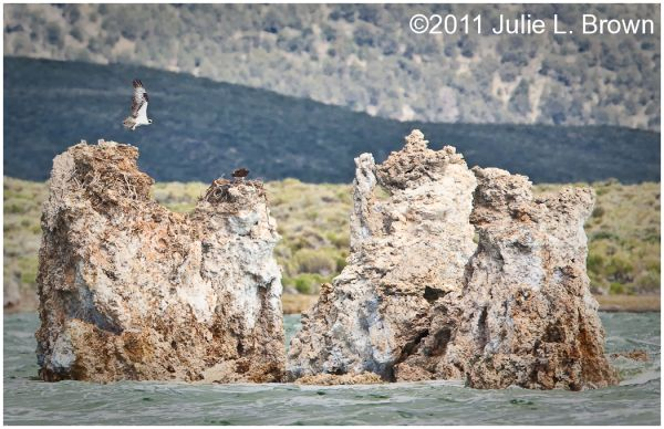 osprey in flight over nest on tufa at mono lake