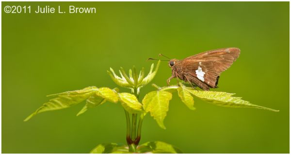 silver-spotted skipper in late spring