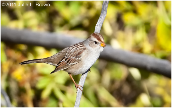 white crowned sparrow 1st winter matheson preserve