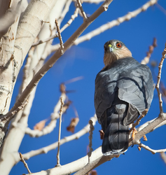 Sharp shinned Hawk, looking back