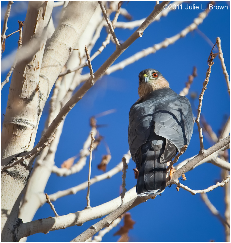 Sharp-shinned Hawk, looking back