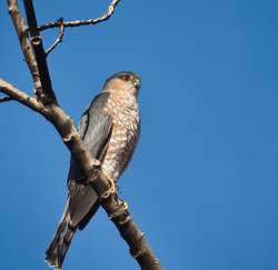 Sharp shinned Hawk, side view