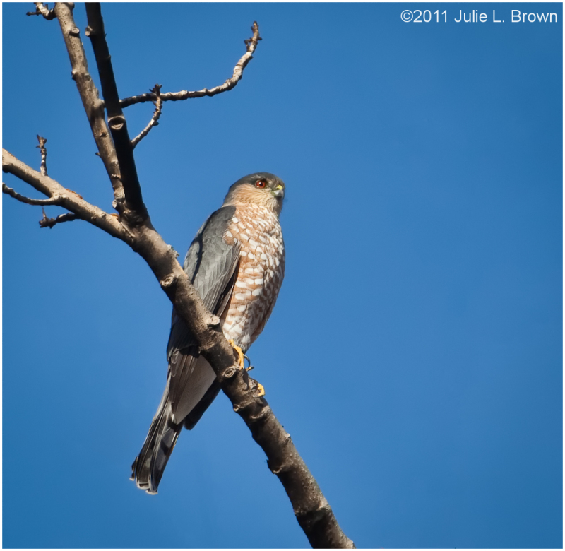 Sharp-shinned Hawk, side view