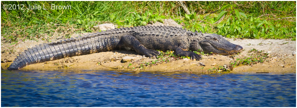 american alligator basking STA5 hendry county