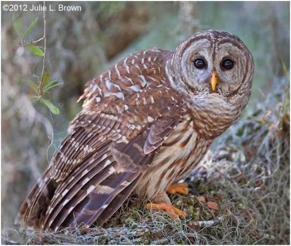 barred owl dinner island ranch hendry county