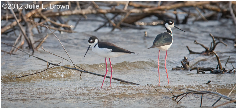 black-necked-stilt lake-okeechobee florida