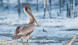 Brown Pelican, 2nd year juvenile