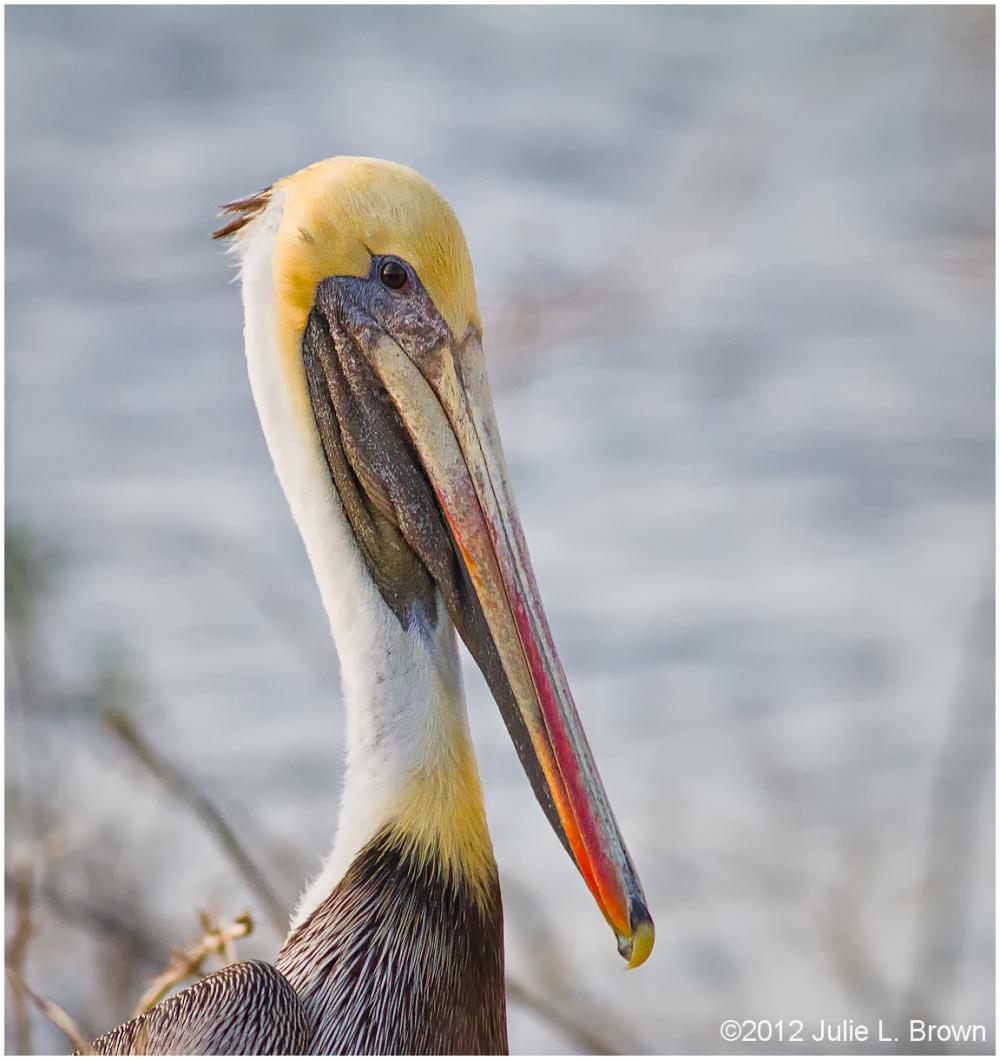 brown pelican adult nonbreeding lake okeechobee