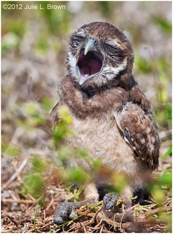 burrowing owlets vocalizing cape coral florida