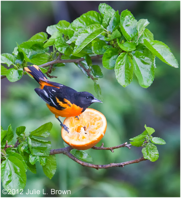 baltimore-oriole eating an orange magee-marsh ohio