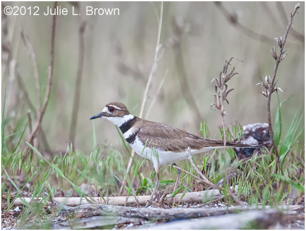 killdeer in habitat magee marsh ohio