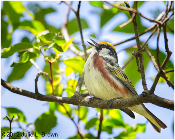 male chestnut-sided warbler magee marsh ohio