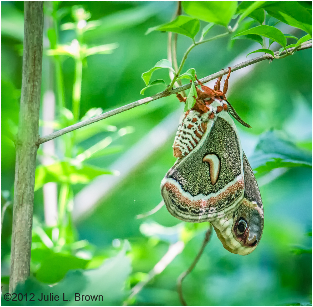 cecropia moth magee marsh ohio