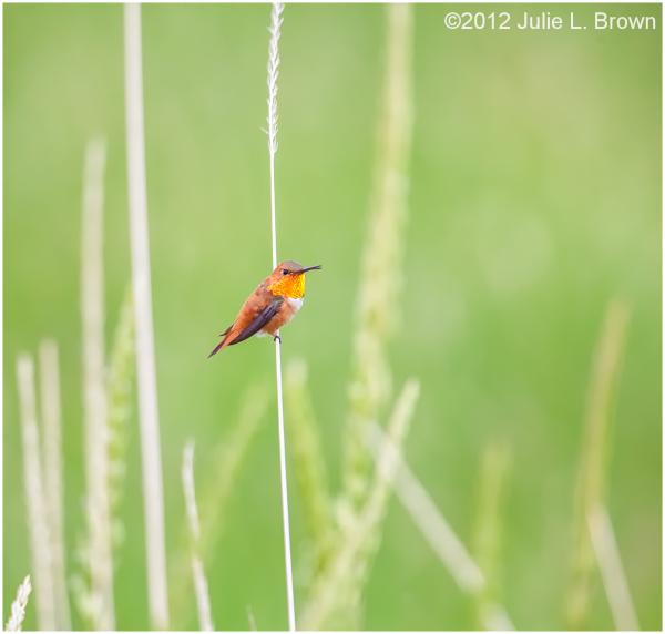 rufous-hummingbird male on grass stem