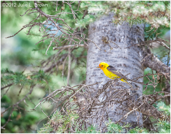 western tanager kebler pass road colorado