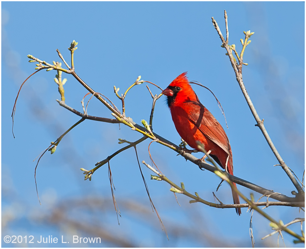 northern cardinal eagle creek park indianapolis