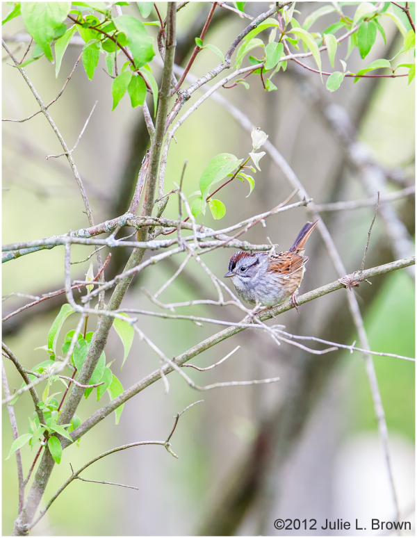 Swamp Sparrow in breeding plumage