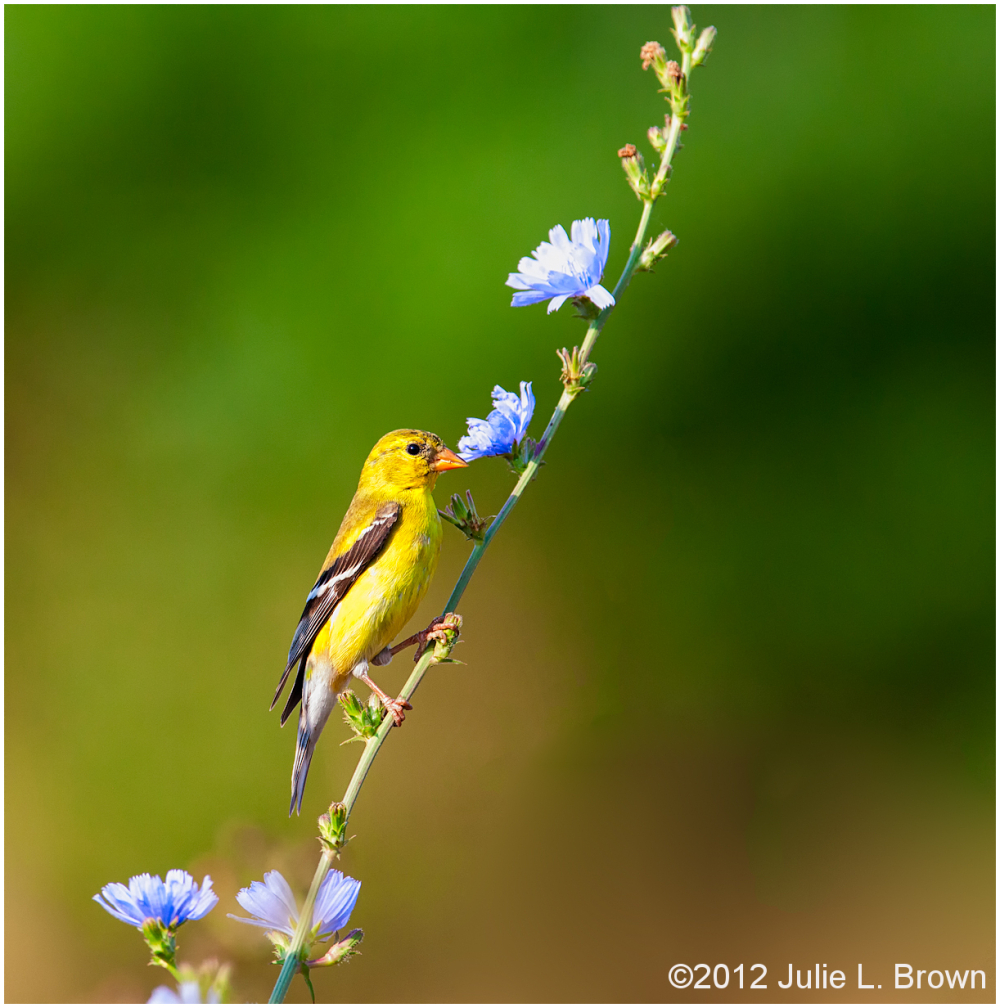 american goldfinch female breeding on chicory stem