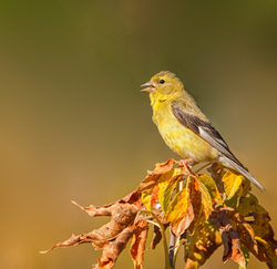 American Goldfinch, adult female fall plumage
