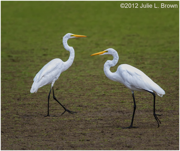 pair of great egrets walking toward each other