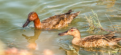 Cinnamon Teal (Anas cyanoptera), pair of adults