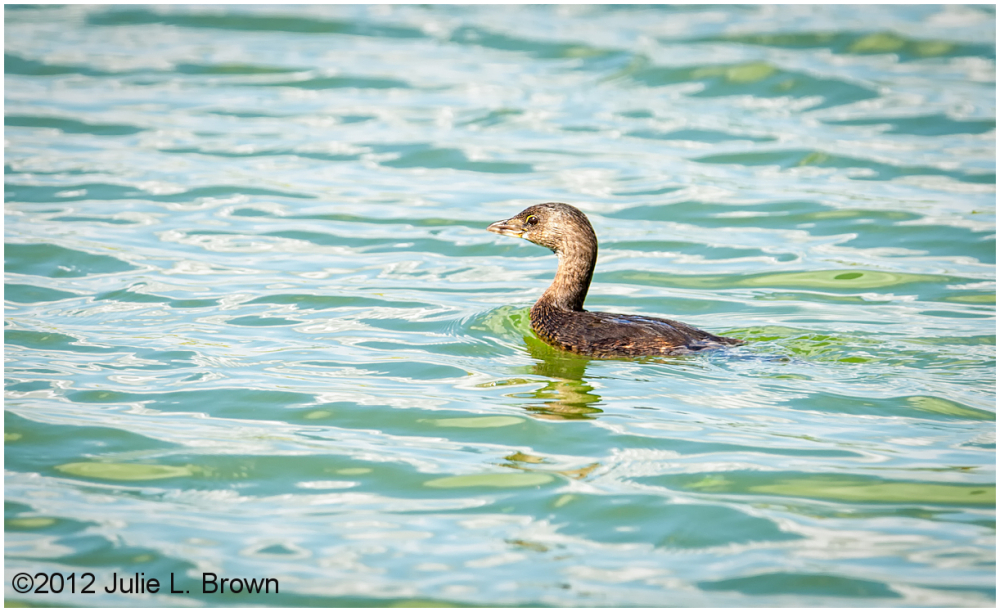 adult nonbreeding pied-billed grebe HBVP nevada
