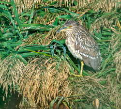Black-crowned Night-heron, juvenile