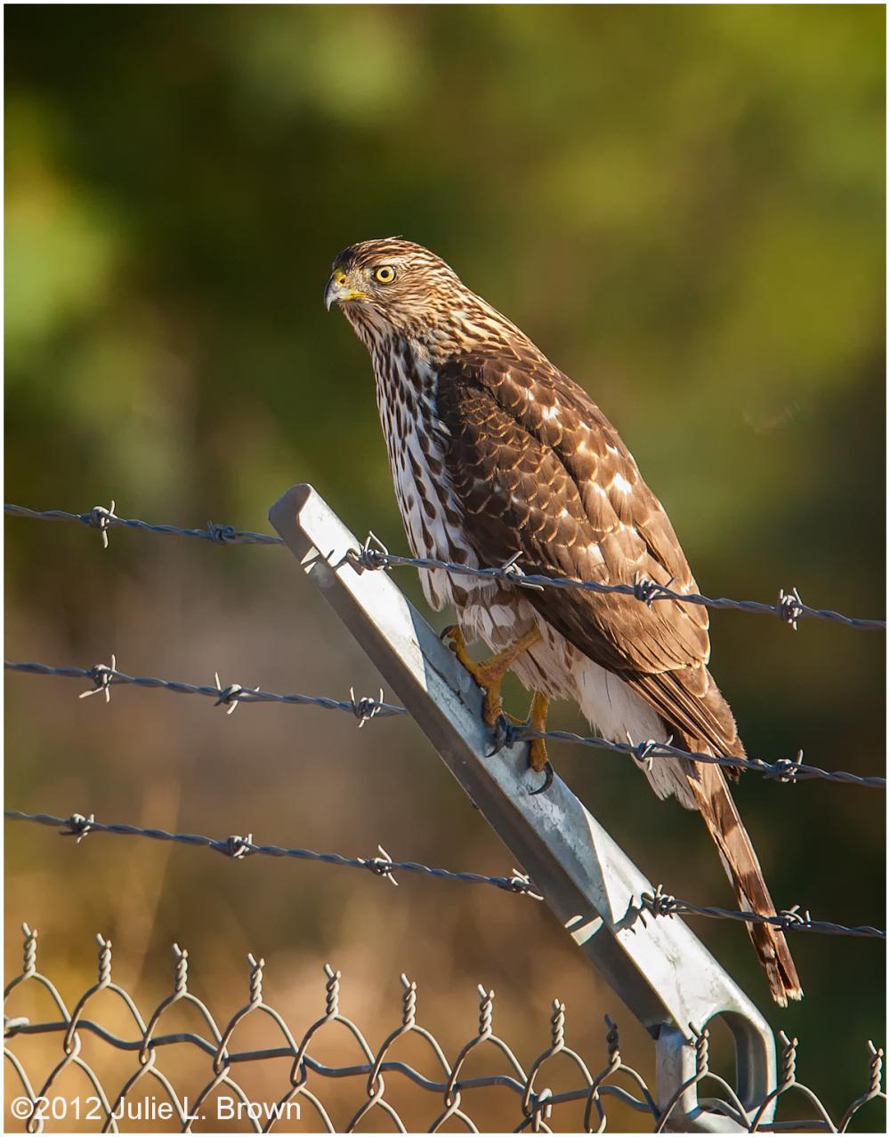 juvenile cooper's hawk HBVP nevada