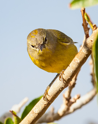 Orange-Crowned Warbler 2/3, showing crown