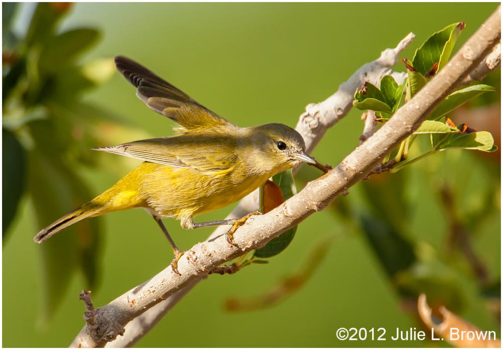 orange-crowned warbler HBVP nevada