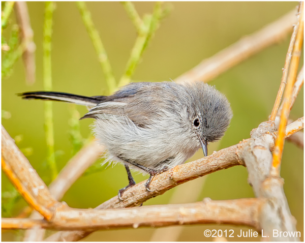 Black-tailed Gnatcatcher, adult male 1/2
